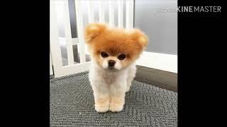Как умерла Бу самая красивая собака в мире