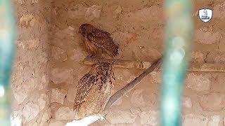 البومة العقابيه من أجمل أنواع البوم/Spotted Eagle-owl