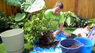 Repotting Tropical Hibiscus