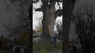 Тюльпановое дерево, Пушкин и кот ученый