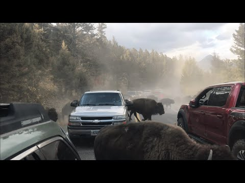 VIRAL bison stampede in Yellowstone