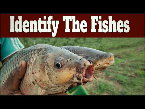 Identify The Fishes Based On Their Mouth Structure - Column Feeder Or Bottom Feeder