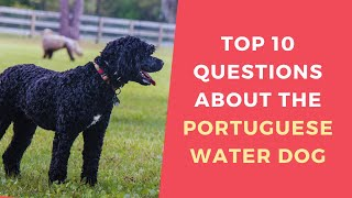 Top 10 Questions about the Portuguese Water Dog