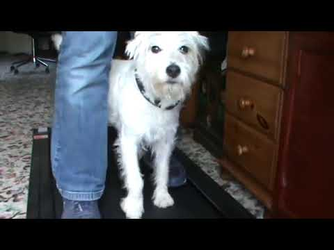 Smurf the Parson Russell Terrier on a treadmill