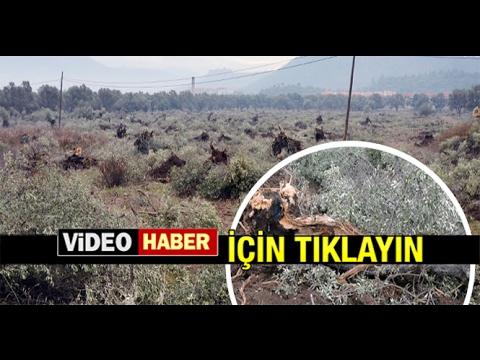 MİLAS'TA ZEYTİN AĞAÇLARINI SEYRELTECEĞİZ DİYEREK TELEF ETTİLER...