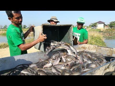Paano Kumita Sa Pag-aalaga Ng Hito | TatehTV Episode 26