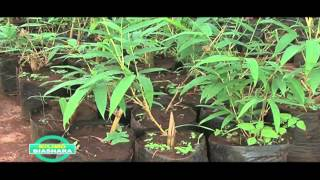 BAMBOO FARMING IN KENYA PART 3 OF 3