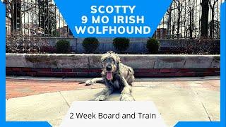 Scotty   9 MO Old Irish Wolfhound   Distraction Training   E Collar Training