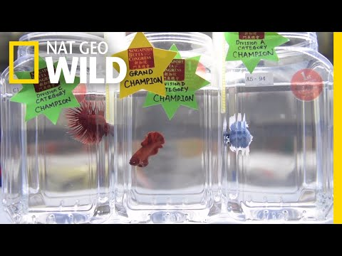 You Betta Believe This Is A Fish Beauty Pageant | Nat Geo Wild