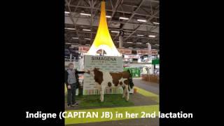 Jura Bétail Simagena 2017 Montbeliarde cows presentation