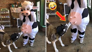 Aww! The Funniest and Cutest Dogs Ever #36 | ChihuahuaTV