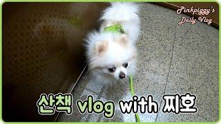 [daily vlog] #화이트포메라니안 찌호와의 산책…