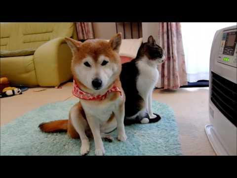 のんびりとヒーター温風に吹かれる柴犬と猫 Shiba Inu and Cat