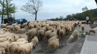 Owce wychodzą na hale Koniaków Ochodzita