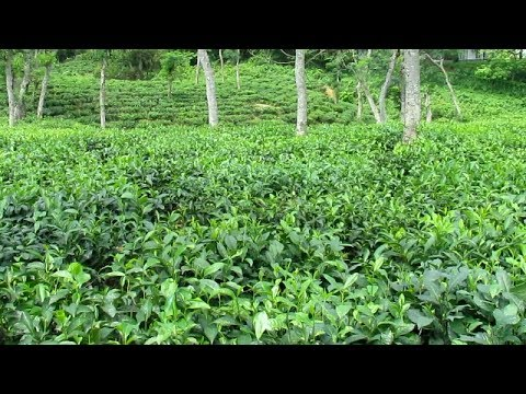Sreemangal Tea Gardens [HD]