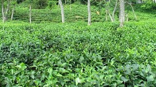 Sreemangal Tea Gardens [HD]