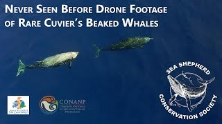 Never before seen drone footage of Cuvier's Beaked Whales