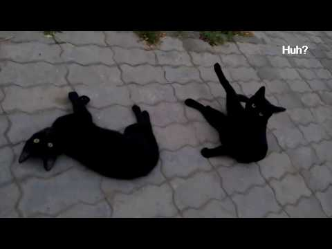 Black cats playing in the street