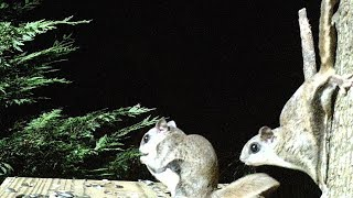 Cautious Flying Squirrel