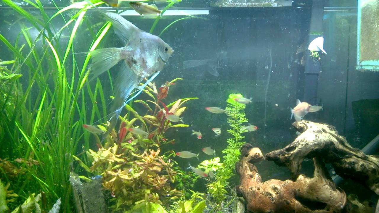 Feeding time in my 55 gallon planted tank. Tetras, betta, angelfish, plecos, rainbowfish. - YouTube