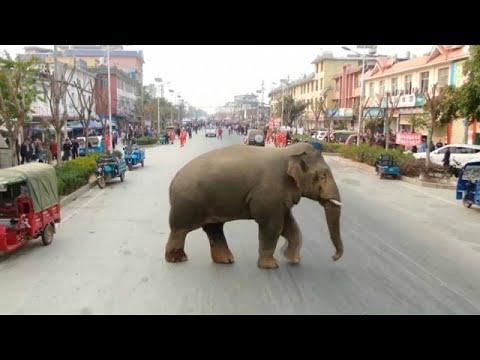 شاهد: فيل تائه يتمشى في شوارع مدينة صينية  - نشر قبل 21 دقيقة