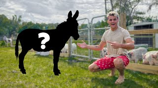 BUYING MINI DONKEY for My FARM!!