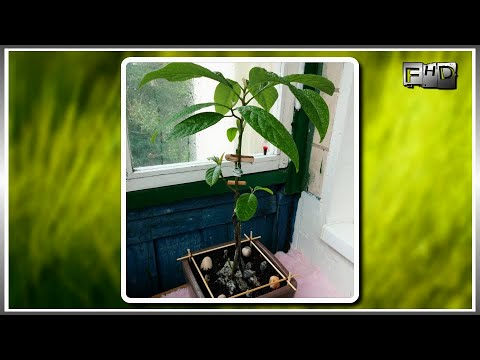 Авокадо - полезные и опасные свойства (+ фото как растет)