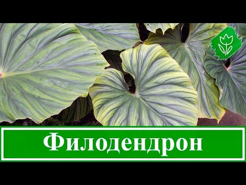 цветок филодендрон фото и уход за ними