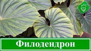 Цветок филодендрон – уход в домашних условиях, виды и фото филодендрона домашнего