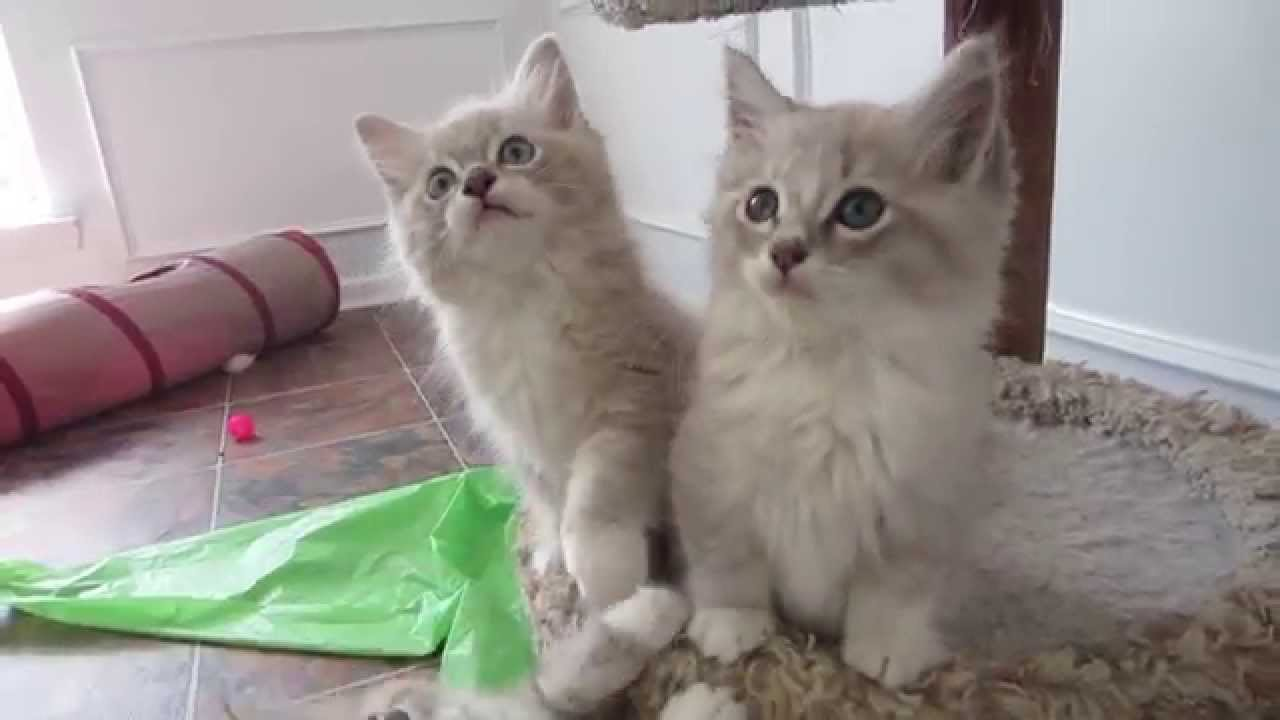 Playful Mink Ragdoll Kittens
