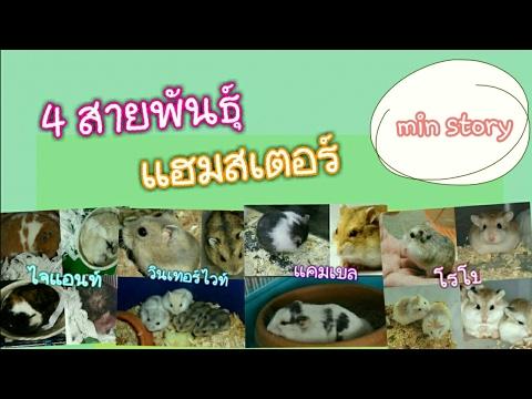 การเลี้ยงแฮมสเตอร์: 4 สายพันธุ์แฮมสเตอร์ Hamster  / min story