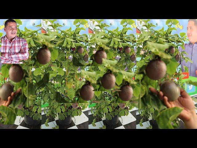 زراعة فاكهة الباشن فروت فاكهة الكوكتيل الفرق بين الانواع المثمرة والغير مثمرة طريقة تلقيح الزهرة Youtube