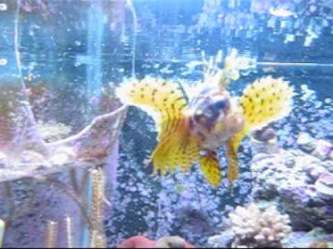 Lionfish Eating.wmv
