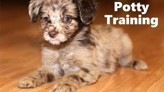How To Potty Train An Aussiedoodle Puppy - Aussiedoodle House Training Tips - Aussiedoodle Puppies