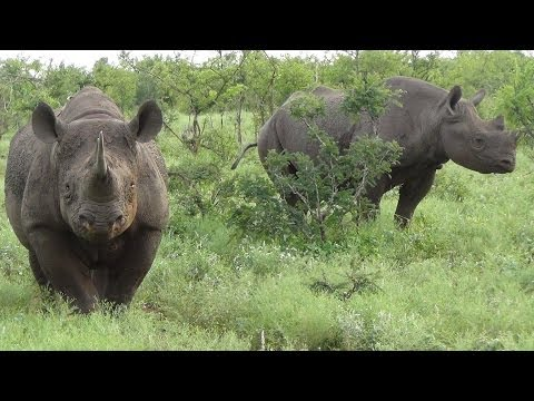 Black Rhino. A Very Close Encounter in the Kruger National Park, South Africa