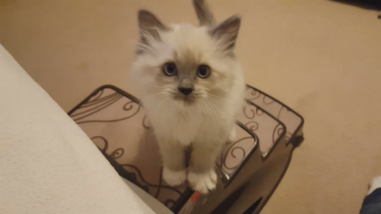 New Kitty 2 Month Old Ragdoll Kitty Youtube