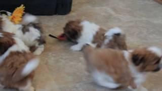 Shih Tzu Puppies For Sale Rachel Fisher