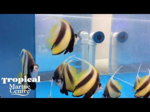 TMC London | Red Sea Bannerfish from the Red Sea