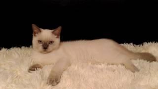 Шотландские котята скоттиш-страйт