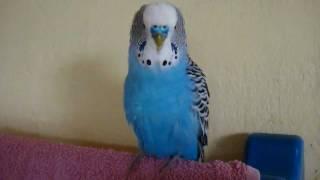 говорящий попугай кешка 2