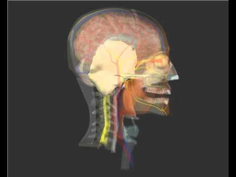 El Cráneo en 3D. Huesos - YouTube