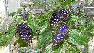 奈良県橿原市の林太郎さん(33)の飼育小屋で、国蝶(こくちょう)の...