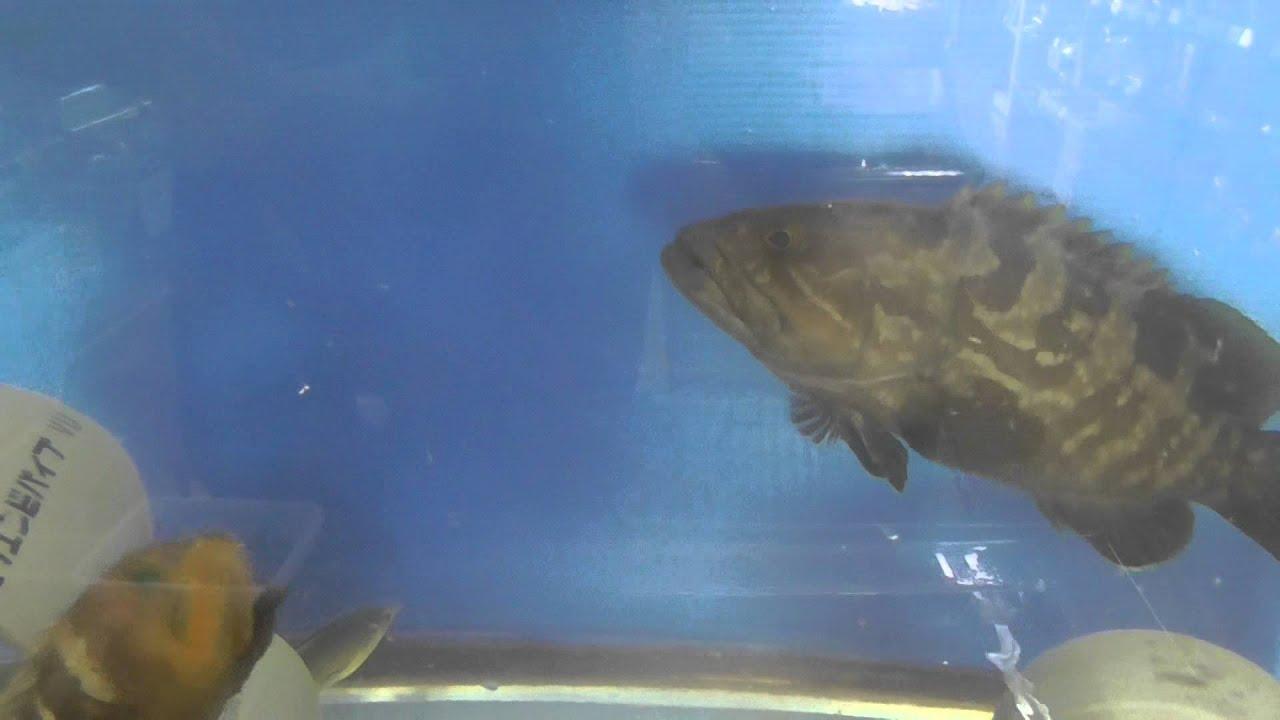 きびなご 出世魚