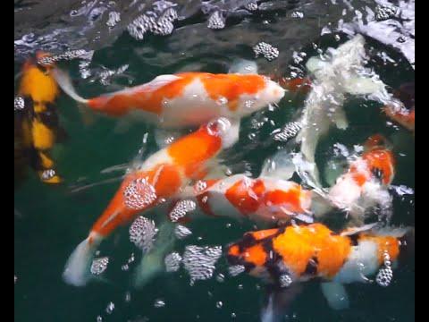 Koi Fish Symbolize - Feng Shui - (Koi Fish At My Home)