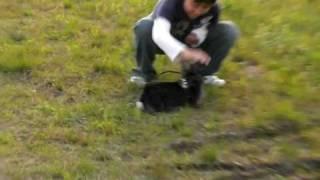 うさんぽ中に空手仲間のミニチュアダックスに遭遇!すごい跳躍力のロップ!