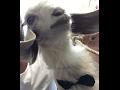 biberondan süt içen keçiler
