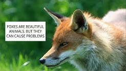 HOW TO GET RID OF FOXES & HOW TO DETER FOXES UK ~ CATCH-IT LTD