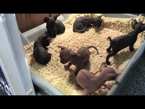 Our newest Litter of Sphynx Kittens are 5 weeks old now!!