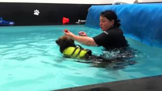 Border Terrier Hydrotherapy Dogchester Hydrotherapy