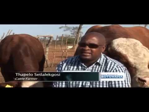 Impact of Botswana's cattle farming sector on economy